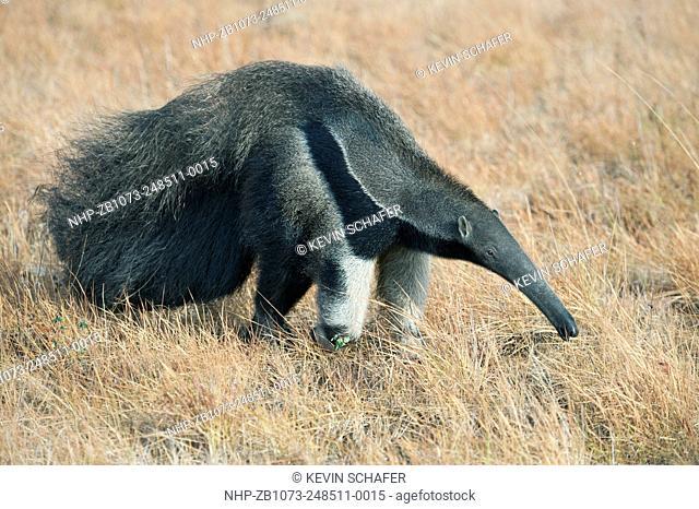Giant Anteater (Myrmecophaga tridactyla) Rupununi Savannah, Karanambu Ranch, Guyana WILD