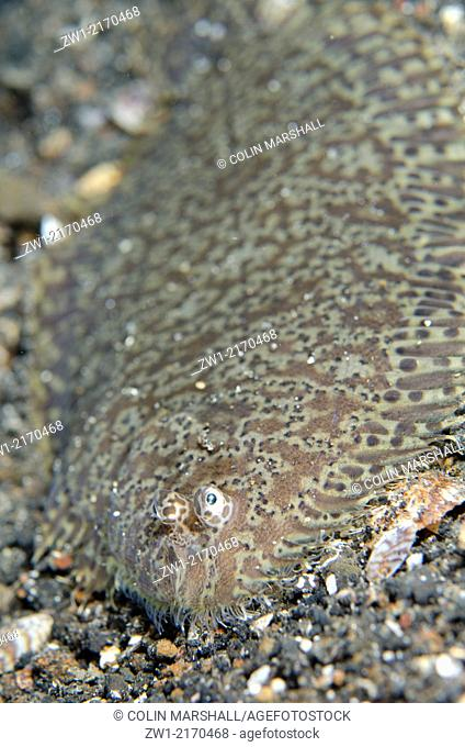 Carpet Sole (Liachirus melanospilus) on black sand at TK1 dive site in Lembeh Straits in north Sulawesi in Indonesia