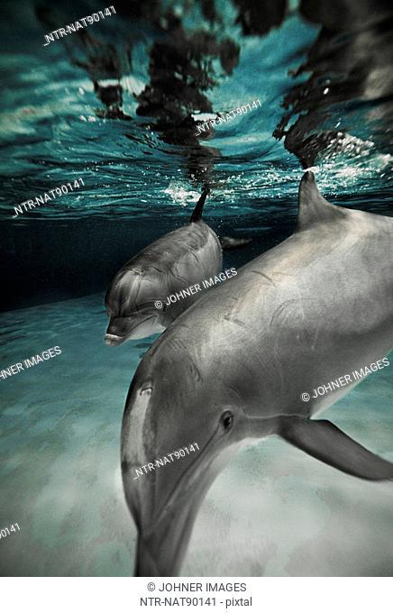 Bottle-nosed Dolphins in aquarium