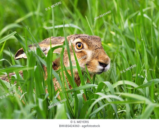 European hare, Brown hare (Lepus europaeus), sits in a meadow, Austria, Neusiedler See National Park