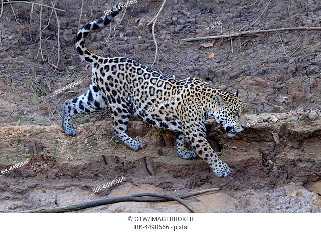 Young Jaguar (Panthera onca) walking on a riverbank, Cuiaba river, Pantanal, Mato Grosso, Brazil
