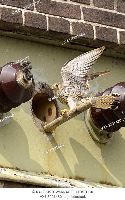 Kestrel / Turmfalke ( Falco tinnunculus ), female falcon, bringing food / prey to its nesting site, an artifical nesting box in a transformer tower, Europe