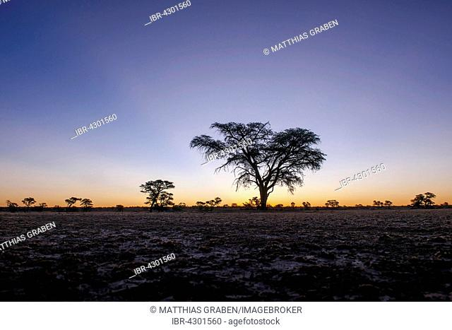 Landscape with camel thorn (Vachellia erioloba) after sunset, Nossob Road, Kgalagadi Transfrontier Park, Northern Cape, South Africa