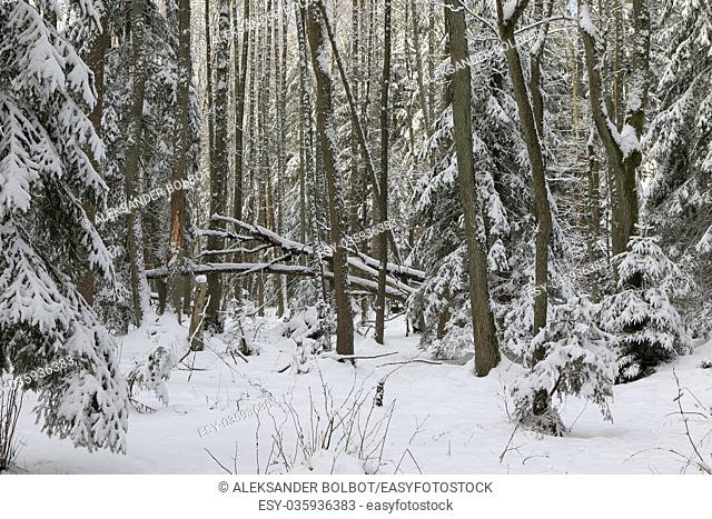 Winter landscape of riparian stand in sunset light with young spruces snow wrapped, Bialowieza Forest, Poland, Europe