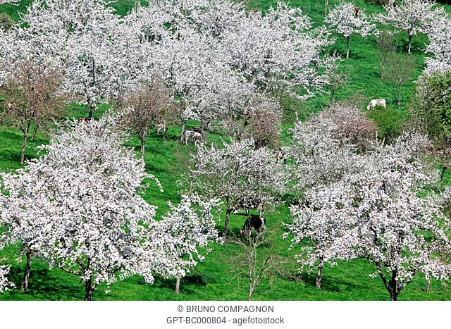 COWS IN A MEADOW UNDER THE FLOWERING APPLE TREES, ORNE 61, FRANCE, EUROPE