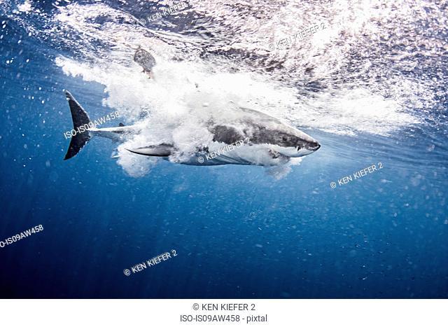Underwater side view of great white shark splashing in ocean