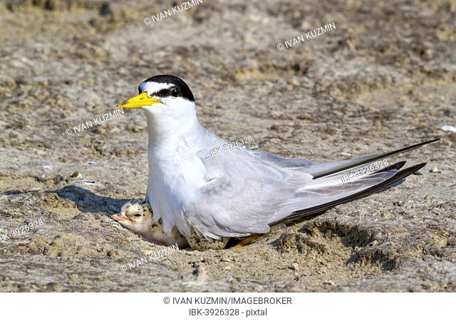 Least Tern (Sterna antillarum) with chick in nest, Texas, USA