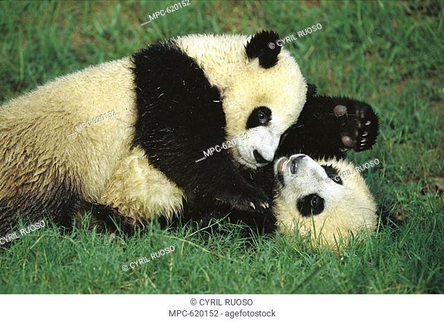 Giant Panda Ailuropoda melanoleuca, endangered, two cubs playing at the Chengdu Panda Breeding Research Center, China