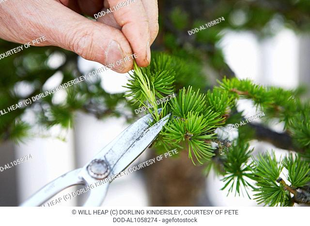 Pruning Bonsai Larix Decidua European Larch Stock Photo Picture And Rights Managed Image Pic Dod Al1058274 Agefotostock