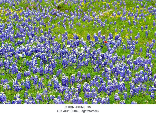 Texas bluebonnet (Lupinus subcarnosus), Gillespie County , Texas, USA