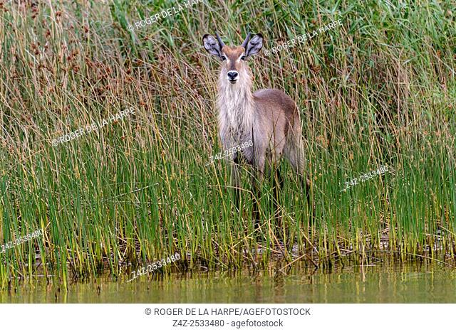 Waterbuck (Kobus ellipsiprymnus). Eastern Shores. Isimangaliso Wetland Park. KwaZulu Natal. South Africa