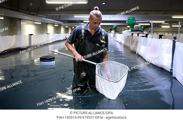 14 September 2018, Bavaria, Langenpreising: Daniel Lebert, fish farmer from Crusta Nova, catches prawns (Pacific White Shrimp) in a tank with a landing net