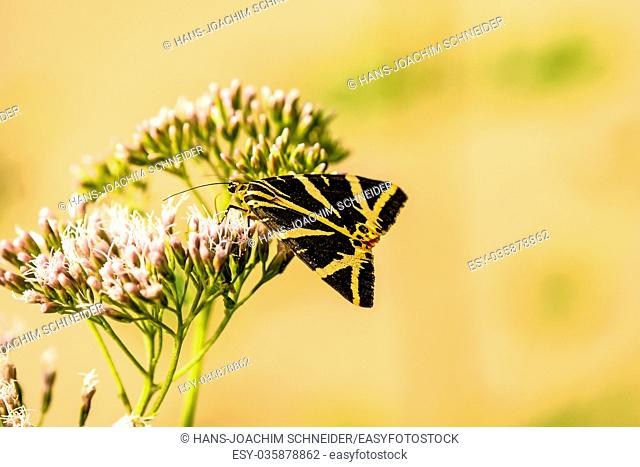 Jersey tiger on a flower in Germany