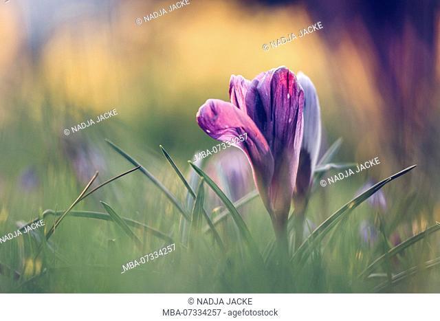 Crocus in spring meadow in backlight