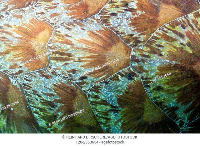 Shield of Green Sea Turtle, Chelonia mydas, Komodo National Park, Indonesia