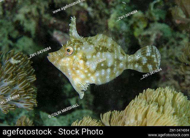 Seagrass Filefish (Acreichthys tomentosus, Monacanthidae Family), Yellow Coco dive site, Bangka Island, north Sulawesi, Indonesia, Pacific Ocean