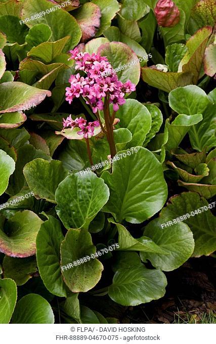 flower of bergenia smithii