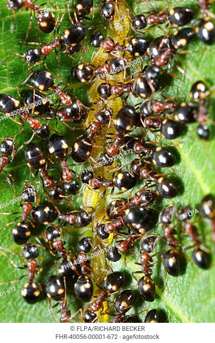 Tree-living Ant Dolichoderus quadripunctatus adult workers, farming aphids on walnut leaf, Causse de Gramat, Massif Central, Lot, France, may