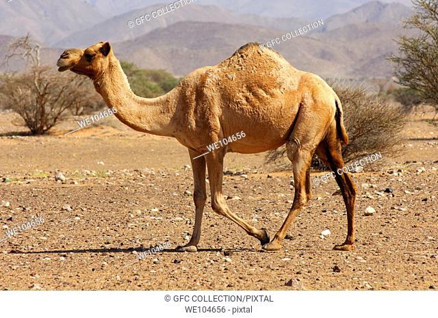 Semi-wild Dromedary Camelus dromedarius or Arabian camel, in the natural habitat of a semi-desert area, Sultanate of Oman
