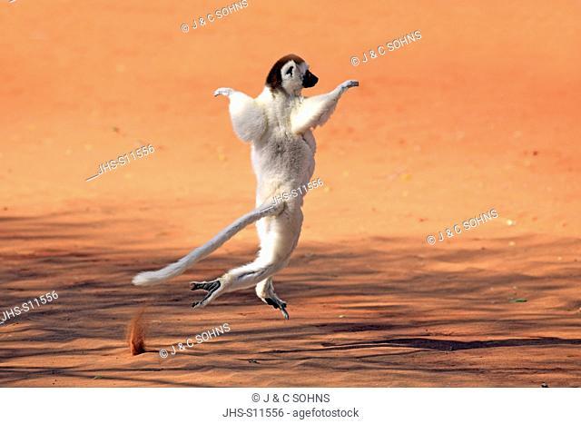 Verreaux`s Sifaka, (Propithecus verreauxi), Berenty Reserve, Madagascar, Africa, adult jumping
