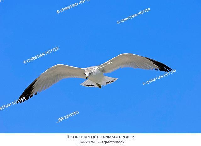 Ring-billed Gull (Larus delawarensis), Sanibel Island, Florida, USA