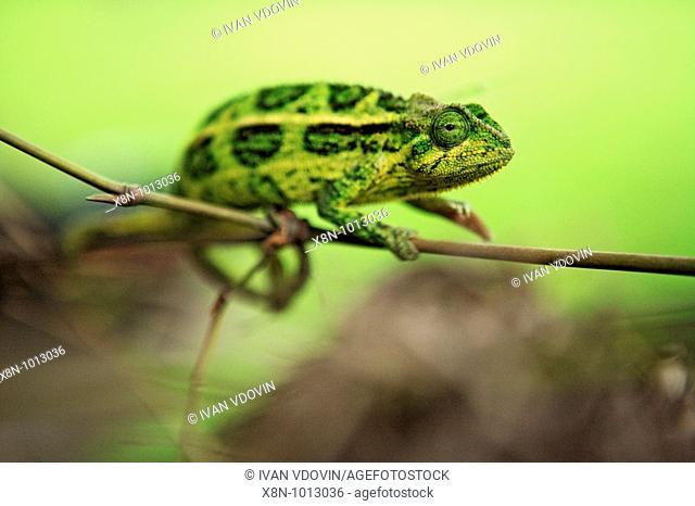 Chameleon, Queen Elizabeth National Park, Uganda, Africa