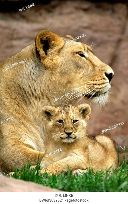 lion (Panthera leo), lioness with cub