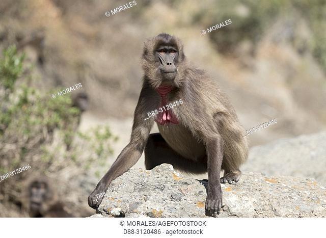 Africa, Ethiopia, Rift Valley, Debre Libanos, Gelada or Gelada baboon (Theropithecus gelada), adult female