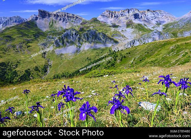 English iris flowers (Iris latifolia) and mountains view. Valles Occidentales Natural Park. Hecho valley. Pyrenees mountain Range, Huesca, Aragon, Spain