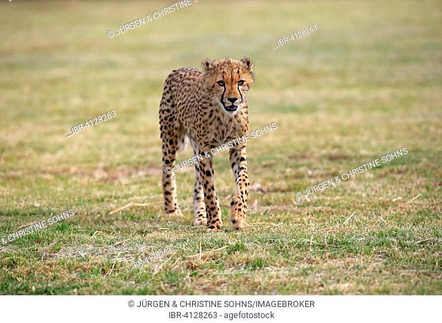 Cheetah (Acinonyx jubatus), sudadult, prowling, Western Cape, South Africa