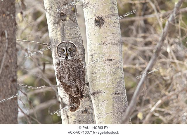 Great Gray Owl (strix nebulosa) in forest, Jasper National Park, Alberta, Canada