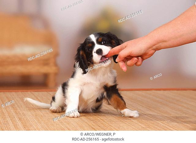 Cavalier King Charles Spaniel puppy tricolour 9 weeks biting in finger