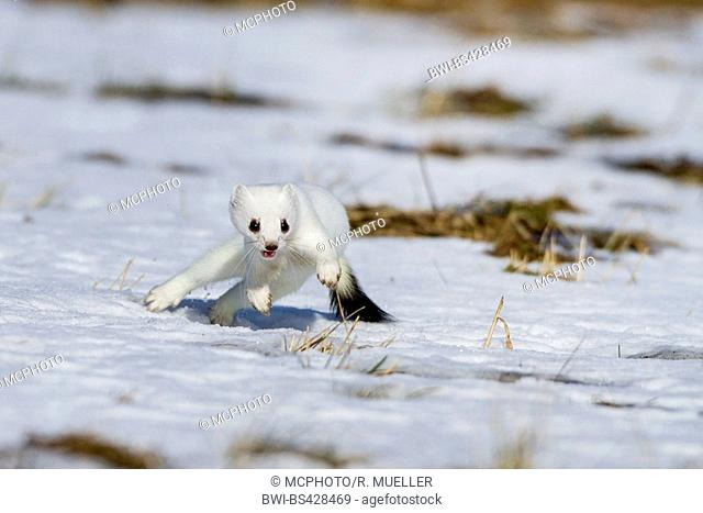 Ermine, Stoat, Short-tailed weasel (Mustela erminea), running on snow in winter coat, front view, Germany