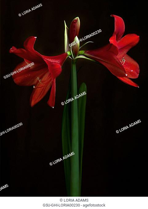 Red Amaryllis Flowers on Long Stem against Black Background