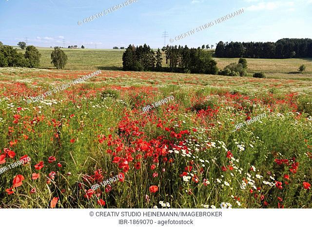 Red poppies (Papaver rhoeas) and marguerites (Leucanthemum vulgare), Limburg, Hesse, Germany, Europe