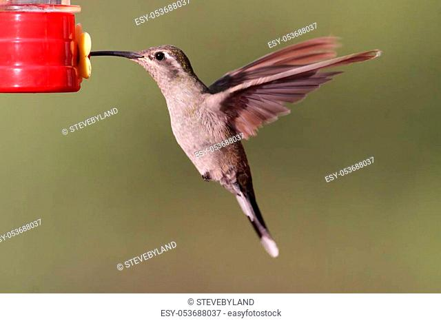 Female Blue-throated Hummingbird (Lampornis clemenciae) in flight at a feeder. Also known as the Blue-throated Mountaingem