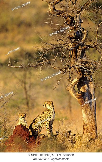 Cheetah and cub, Acinonyx jubatus, Kruger National Park, South Africa