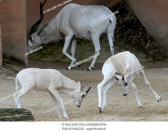 Twoyoung white Addax desert antelopes play in the outdoor enclosure at the zoo in Hannover, Germany, 30 June 2016. In total