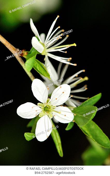 Prunus spinosa flower, Blackthorn or Sloe. Fam. Rosaceae. Turo del Putget Park. Barcelona. Catalonia. Spain