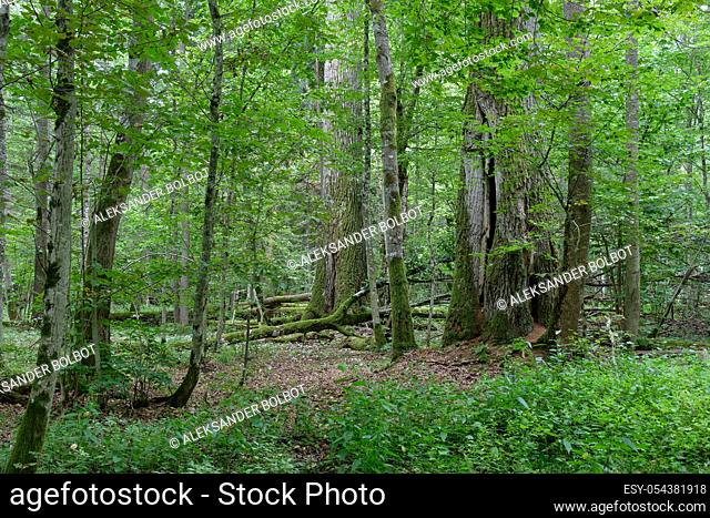 Two old oak trees side by side in summertime decuduous forest, Bialowieza Forest, Poland, Europe