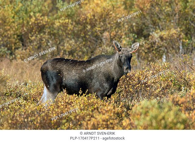 Moose (Alces alces) young bull with small antlers foraging among willow shrubs in moorland in autumn, Scandinavia