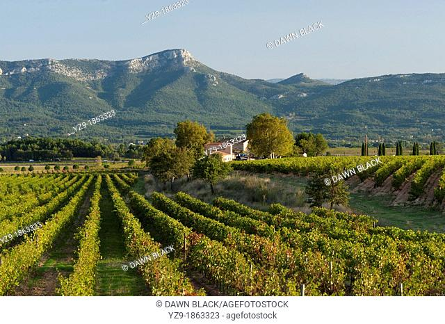 Vineyard with the Massif de Sainte Baume behind, Provence, France