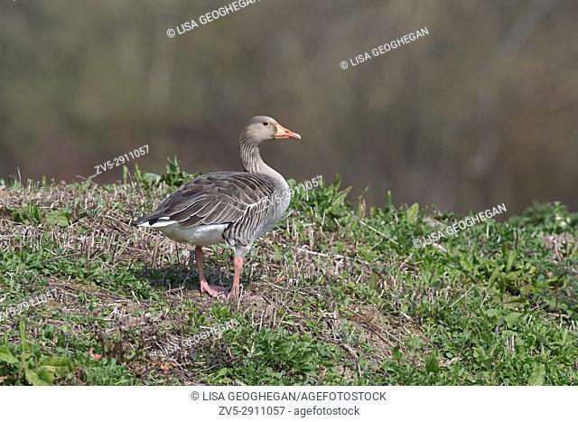 Greylag Goose-Anser anser. Spring. Uk