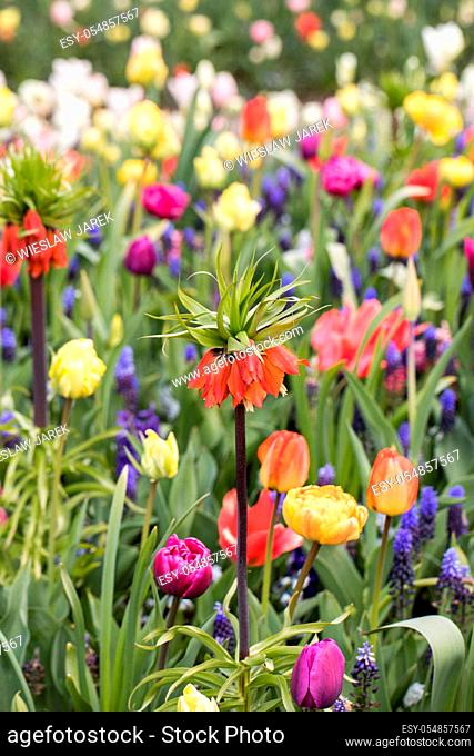 Fritillaria imperialis, hyacinths and colorful tulips flowers blooming in a garden