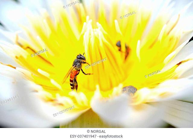 closeup bee on white-yellow lotus