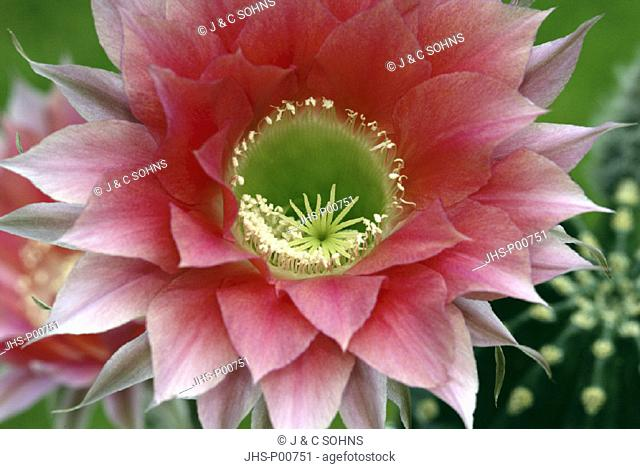 Easter Lily, Cactus Echinopsis, Germany, plant in pot bloom