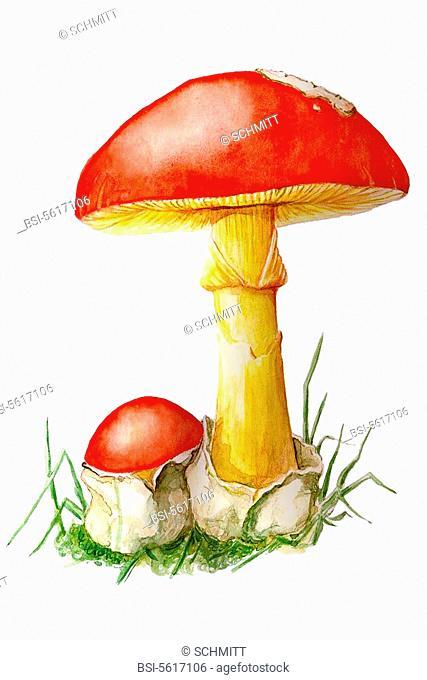 Caesar's mushroom amanita caesarea. Amanita caesarea  Caesar's mushroom  Agaric  Amanitaceae  Agaricales  Basidiomycetes  Mushroom