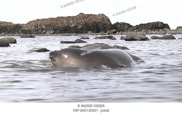 Southern elephant seal Mirounga leonina pups joust in shallow water. Elephant Point, Livingston Island, South Shetlands