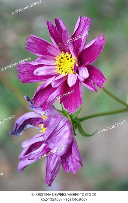 A new dark purple partially curled and doubled Cosmo bloom