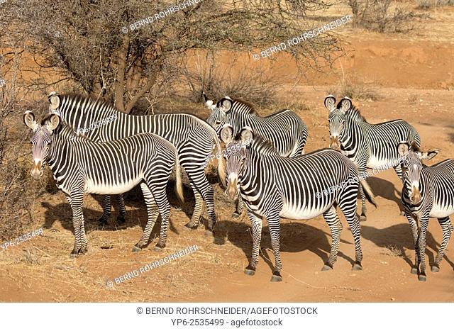 herd of Grévy's zebras (Equus grevyi) in semi-desert, Samburu National Reserve, Kenya